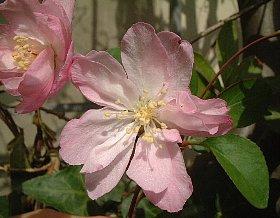 花 ハナカイドウ/2月7日の花と花言葉 ハナカイドウ …