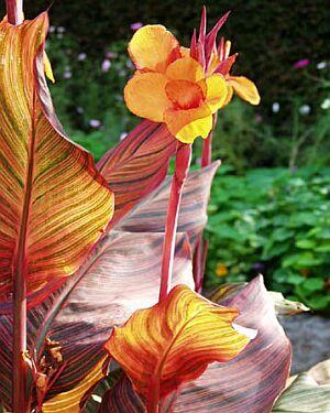 カンナの花言葉-花言葉事典