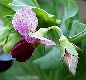 エンドウ,えんどう(豌豆)の花言葉-花言葉事典