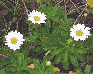 ハマギク,はまぎく(浜菊)の花言葉-花言葉事典