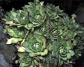 イワレンゲ,いわれんげ(岩蓮華)の花言葉-花言葉事典