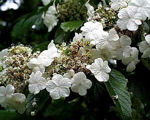 カンボク,かんぼく(肝木)の花言葉-花言葉事典