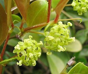 サルトリイバラの花