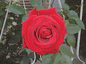 お花見 薔薇