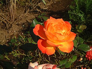 お花見 バラ