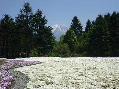 白花と富士山