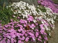 芝桜の花見