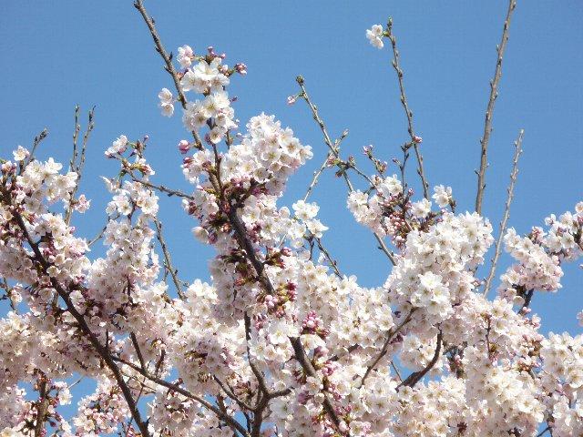 サクラ(桜・ソメイヨシノ)
