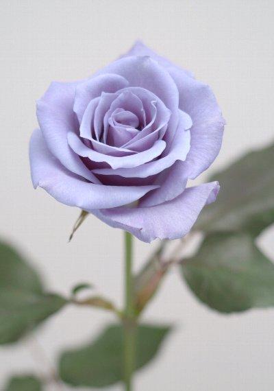 青いバラ「サントリー『アプローズ』」