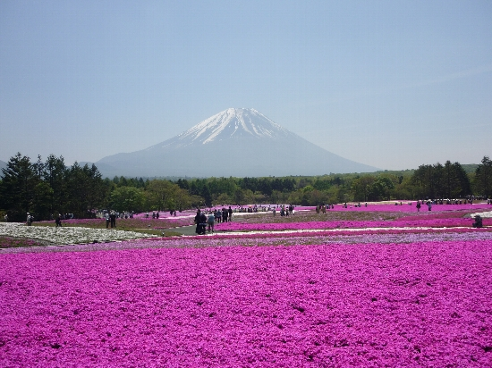 富士の麓のシバザクラ!