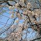 「桜前線」